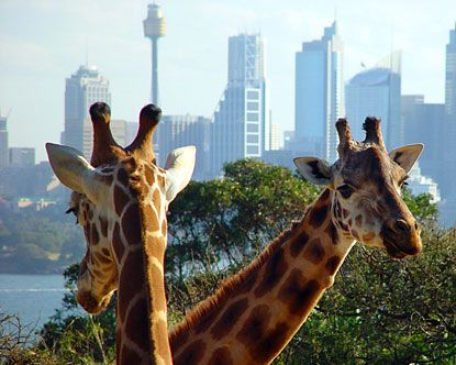 From the Taronga Zoo in Sydney, Australia. Visited there when Jenny was living in Gosford, north of Sydney.Parks Zoos, Beautiful View, The View, Australia Som, Australia On, Sydney Australia, Taronga Zoos, Australia Hom, Zoos Sydney