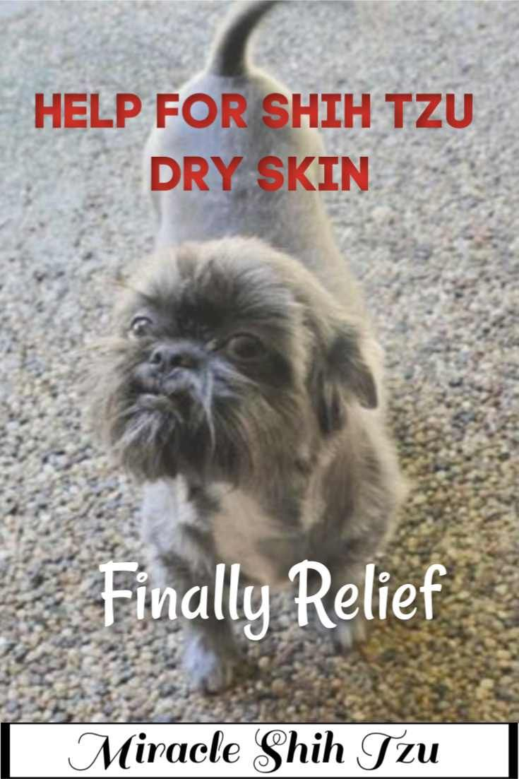 Shih Tzu Dry Skin Problems Causes And Remedies Dry Skin Shih