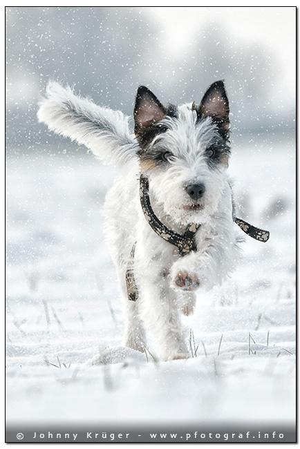 Parson Terrier - copyright by Johnny Krüger - www.pfotograf.info