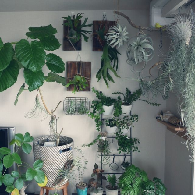 abeさんの、チランジア,エアプランツ,植物,観葉植物,部屋全体,のお部屋写真