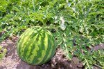 Avocado, Avocadobaum züchten - Pflanzen und Pflege