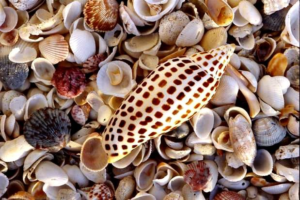 The rare junonia shell is considered the ultimate find by Sanibel Island shell collectors. Photo courtesy of Island Vacations of Sanibel and Captiva.