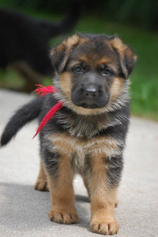#German #Shepherd #puppy