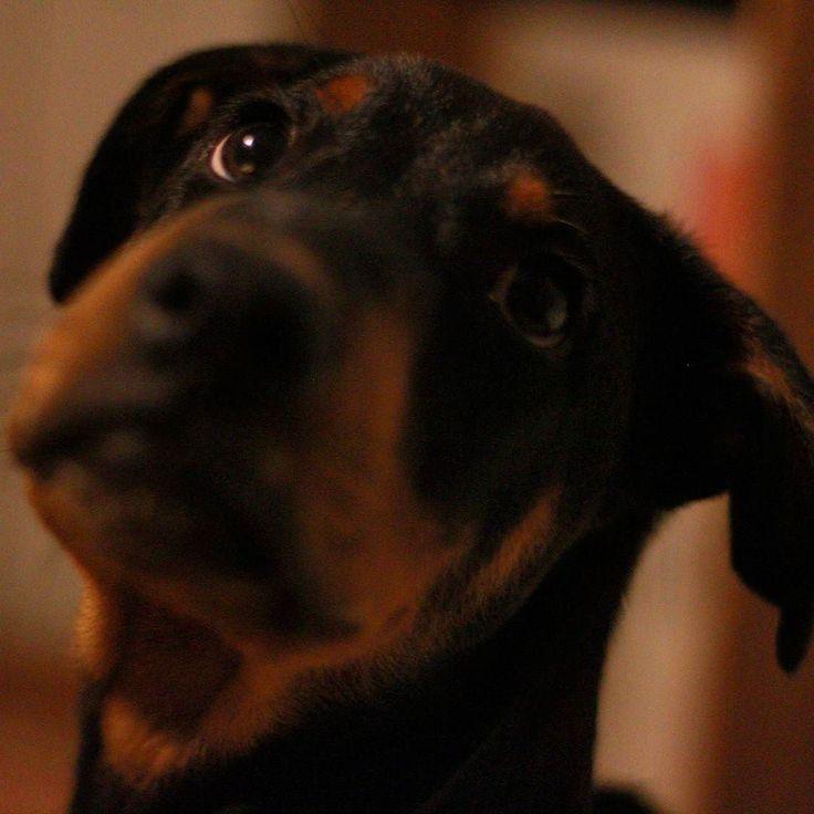 #Tarzan #puppy #doberman  Whats up man? (4 month young). #dobermanpride #dobelove #dobermansofinstagram #dogsofinstagram #dobermann #doby #puppylove #dog #pet #pets #petstagram #dobby #pincher #dobermanpinscher Ну че там? (4 месяца). #доберман #доберманпинчер #щенок #собака #доберманчик #пинчер