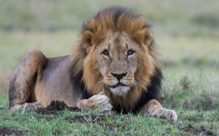 One of two territorial male lions holding sway at Segera #Kenya #safari