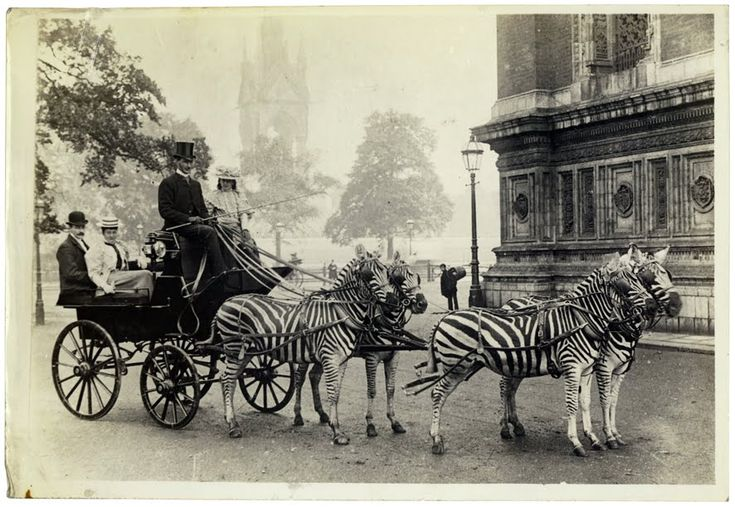 Lord Walter Rothschild with his famed zebra carriage, which he drove to Buckingham Palace to demonstrate the tame character of Zebras to the public, early 1900s