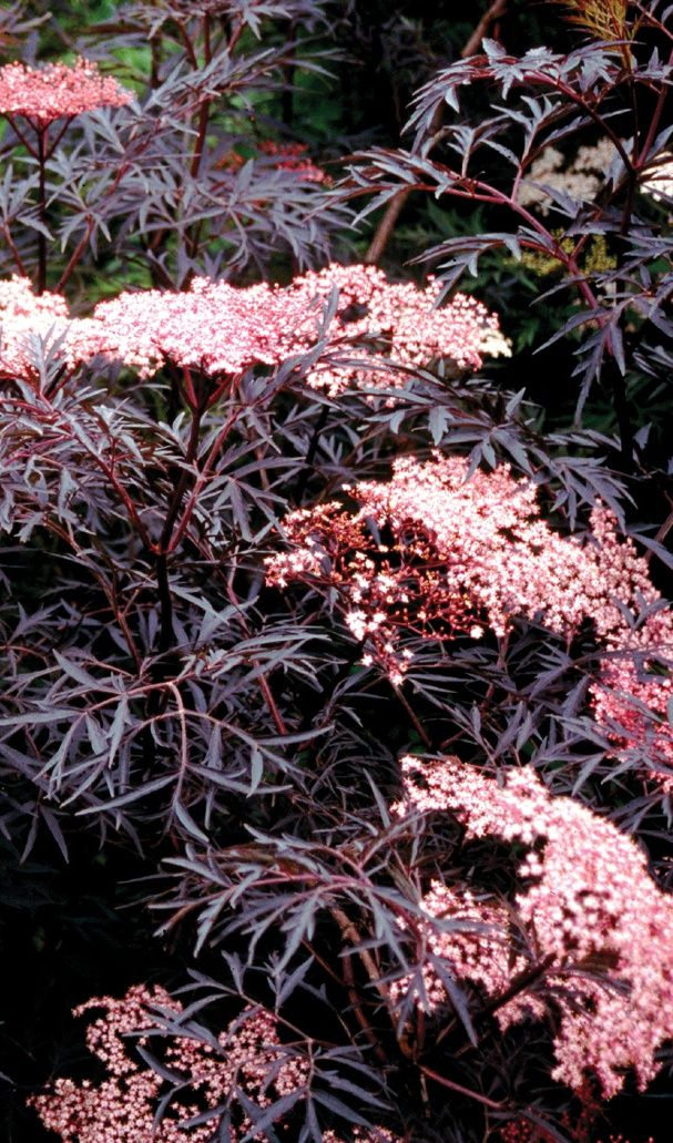 Enjoy this dark and distinctive lacy foliage all season and soft pink early summer flowers. Season long color and texture. Fall fruit attracts birds.