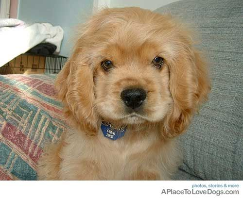 golden cocker spaniel puppies fluffy friends pinterest 17 best images about cocker spaniel puppies on pinterest