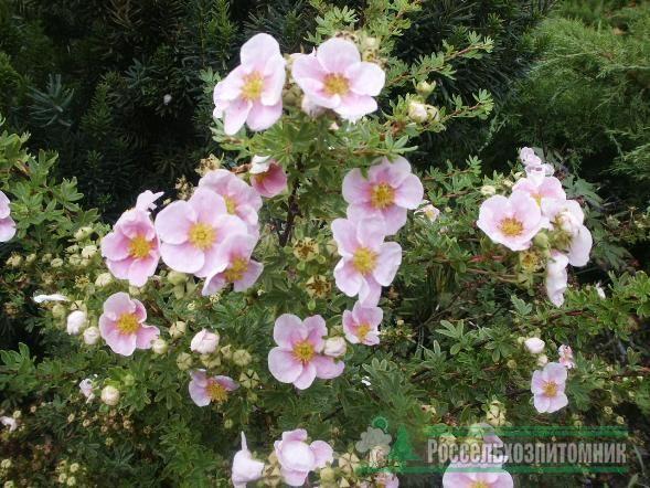 Лапчатка кустарниковая Пинк Квин (Potentilla fruticosa Pink Queen)