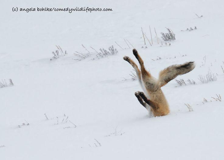 Volpe con la testa nella neve (Angela Bohlke)