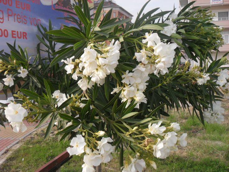 Вечнозеленое кустарниковое растение Олендр с белыми цветами.