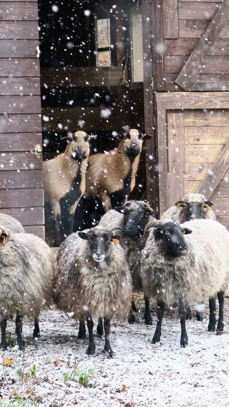Co roku zdziwione :) Owieczki  z Siedliska na Wygonie na Mazurach #owce #wrzosówki #kameruńskie #natura #siedlisko #agroturystyka #mazury #sheep #masuria #nature #snow #winter #śnieg #zima #places