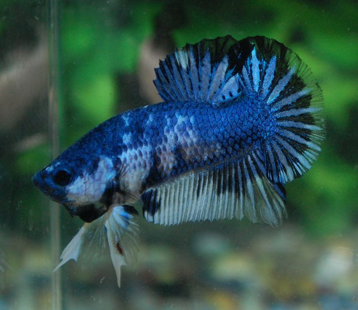 17 best images about betta fish on pinterest copper for Best betta fish