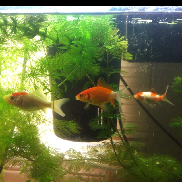 17 best images about goldfish ect on pinterest goldfish for Outdoor goldfish for sale