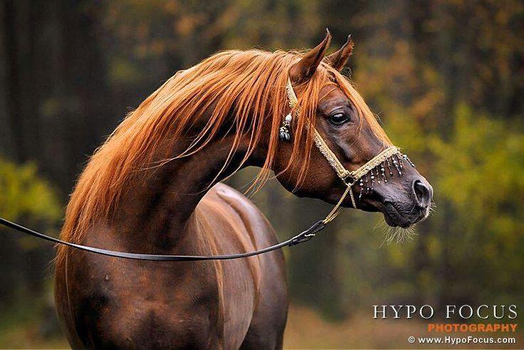 Love Liver Chestnut Arabians | Horses chestnut | Pinterest ...