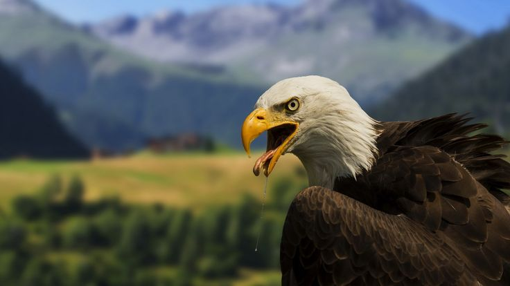 pictures of bald eagle