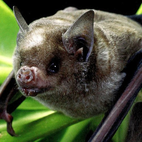 Brachyphylla nana es una especie de murciélago de la familia Phyllostomidae.  Distribución geográfica[editar]  Se encuentra en las Bahamas, Islas Caimán, Cuba, la República Dominicana, Haití, Jamaica, Islas Caimán), y Caicos en Bahamas.  Referencias[editar]  ↑ Dávalos, L. & Mancina, C. (2008). «'Brachyphylla nana'». Lista Roja de especies amenazadas
