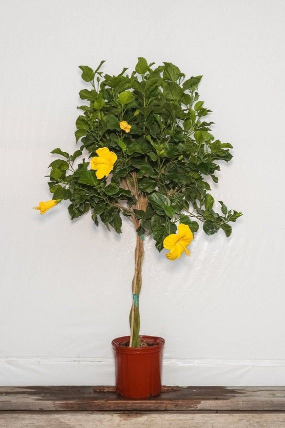 Braided Yellow Hibiscus Tree Plant Overall Height 44 To 48 3