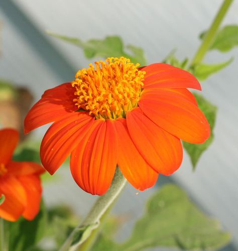 The orange flowers of mexican sunflower are large and amazingly bright. Follow this how to grow Tithonia from seeds guide, grow some sunshine this summer.