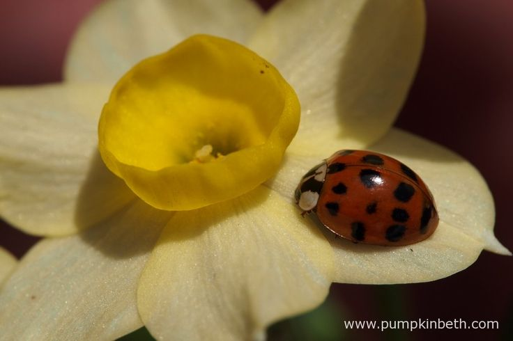 A ladybird resting on the petals of Narcissus 'Minnow'.  Pictured during my 2017 Scented Daffodil Trial.