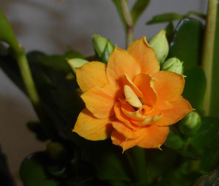 Yellow flower on sukulen