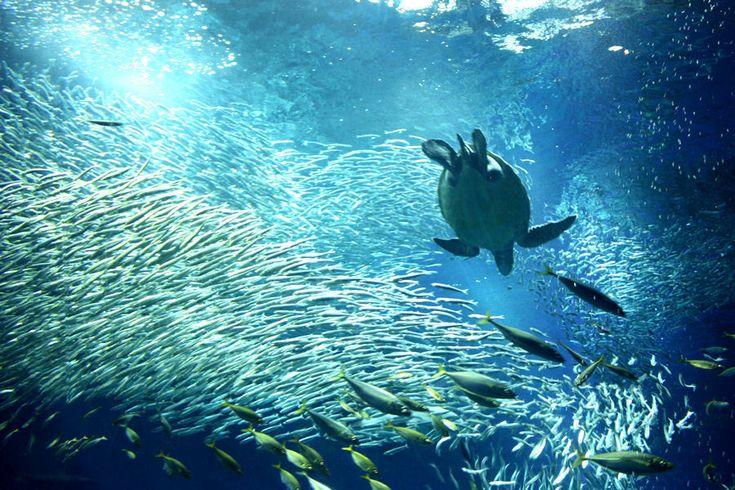茨城の大洗町は、以前からサーフィンなどにマリンスポーツ、フェリーの発着場として知られています。最近ではアニメの聖地としての町おこしイベントでも注目されています。大洗の観光スポットをまとめてみました。1.アクアワールド 茨城県大洗水族館 大洗水族館は、日本トップクラスの規模の水族館で、特にサメは50種類以上、マンボウ専用水槽は日本一の大きさを持っています。…