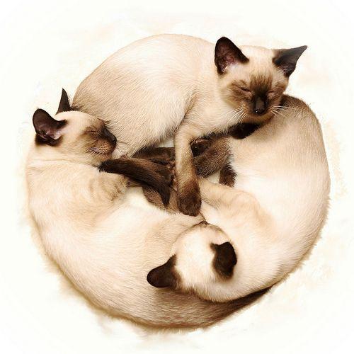 Want a Siamese!!