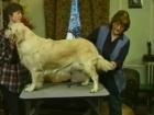 Videos on how to groom your Golden.  Ears, feet, coat.  Great info here.