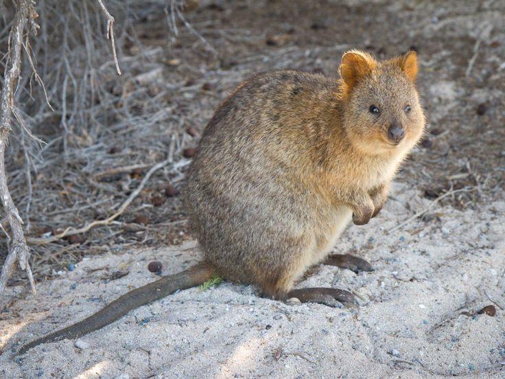 es un pequeño canguro (del tamaño de un gato doméstico). Este marsupial es el único miembro del género Setonix y se encuentra en peligro de extinción debido a que este risueño animal no tiene miedo a los humanos, por lo que es fácil de capturar, así como por la destrucción de su ecosistema. Las hembras solo tienen una cría al año, así que el número de esta especie no puede crecer en demasía. Actualmente, existen 8-12.000 ejemplares en la isla Rottnest.-Australia