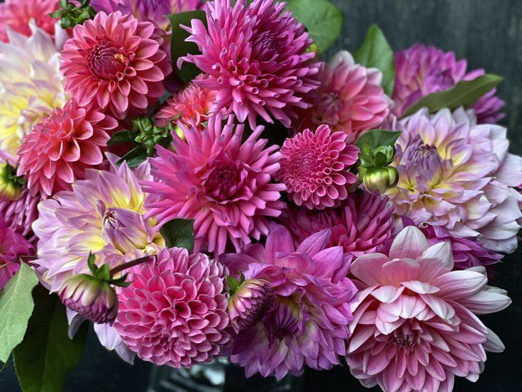 Pink Dahlias Dahlias Rosa Dahlien Dahlias Roses Dalias Rosadas Dahlias Bouquet Dahlias Tattoo Dahlias Garden Dahlias Growing Da In 2020 Dahlia Pink Plants