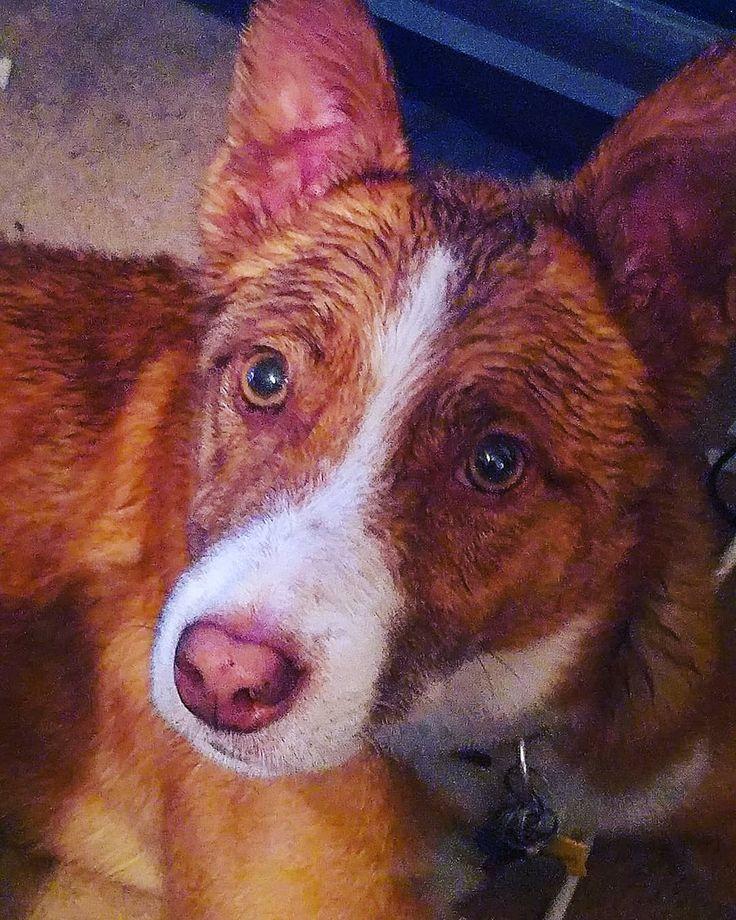 Aidan aka the drowned rat dog #dog #dogs #dogoftheday #christmastime #dogsofinstagram #instadogs #instadog #instagramdogs #instagramdog #pet #pets #petoftheday #petsofinstagram #instapet #instagrampet #instagrampets #bordercollie #aussie #redheeler #bordercolliesofinstagram #cattledog