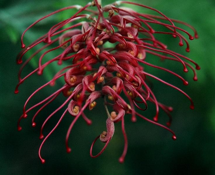 Grevillea Banksii  Spider Flower