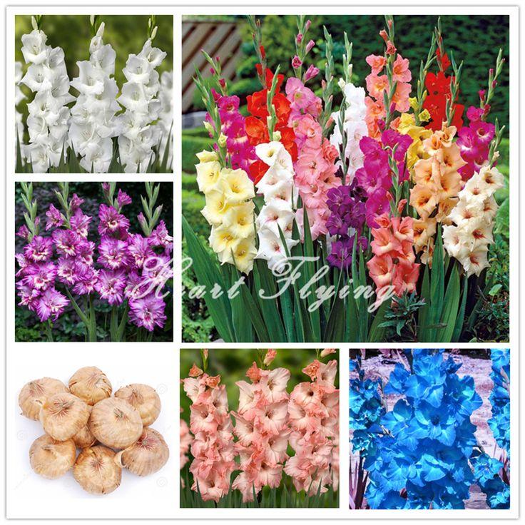 2 PCS lâmpadas Bulbos de Gladíolo Flor (NÃO gladíolo Sementes) Vasos de Plantas Perenes Interior Aeróbicos Gladiolus bulbos de flores de lírio