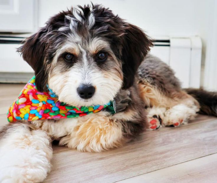 Tri Color Bernedoodle Puppies For Sale In Pa 2021