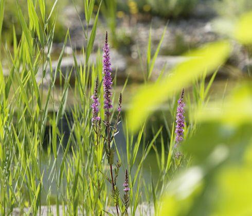 Schmetterlingsmagnet  Sumpfpflanzen wie der Blutweiderich oder die Schwanenblume schmücken nicht nur den Teichrand, sondern dienen auch als Bienenweide.