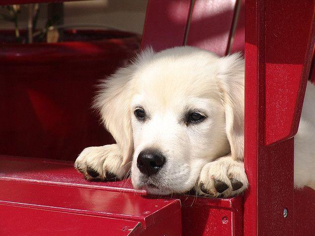 English Cream Golden Retriever White Golden Retriever Puppy Puppies California Orange County Los Angeles White Golden Retriever Puppy Puppies Beautiful Dogs