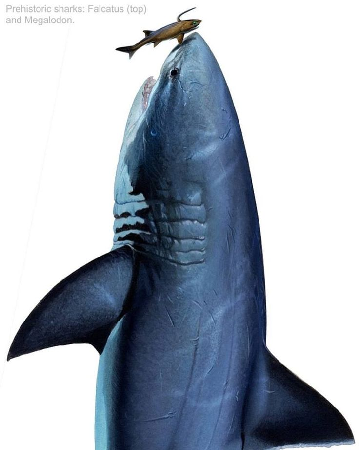 Prehistoric Sharks. Megalodon and Falcatus. Acrylic on board by Ian Coleman.