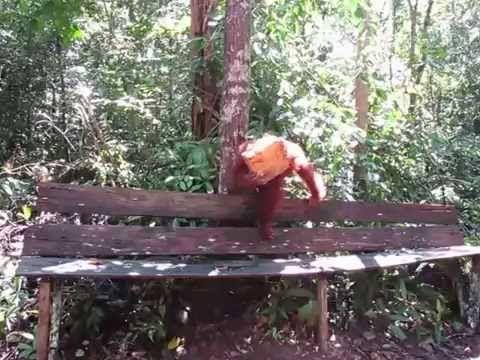 Orangutan Tanjung Puting Tour