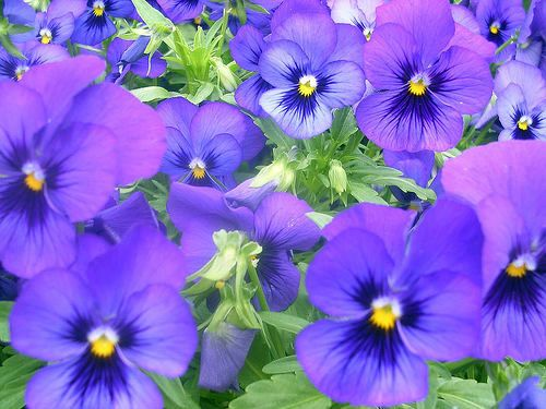 Illinois State Flower Violet Birds And Flowers Pinterest