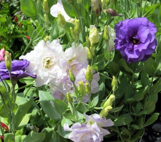 Эустома — выращивание королевы букетов.