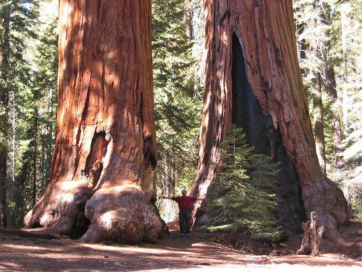 Sequoia trees - Sequoiadendron giganteum - Wikipedia, the free encyclopedia