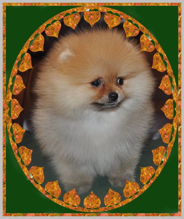 Dochlaggie Pomeranian Puppy Pomeranian Puppy Cat And Dog Memes Pomeranian Breed