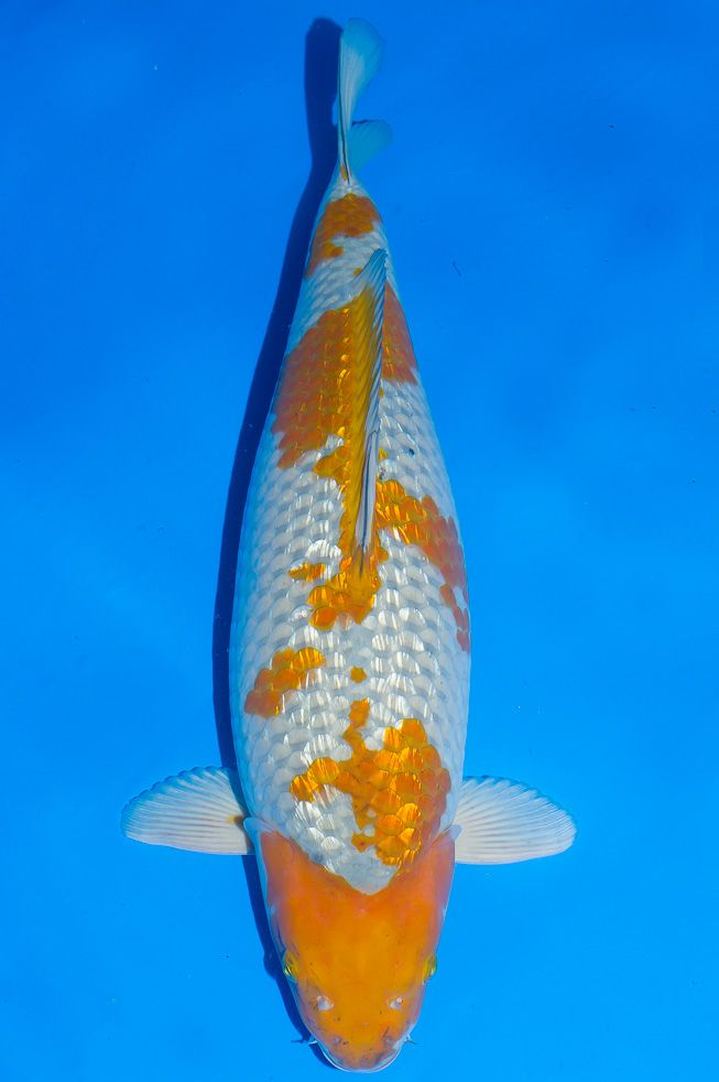 17 best images about o c e a n i c on pinterest for Ochiba koi fish
