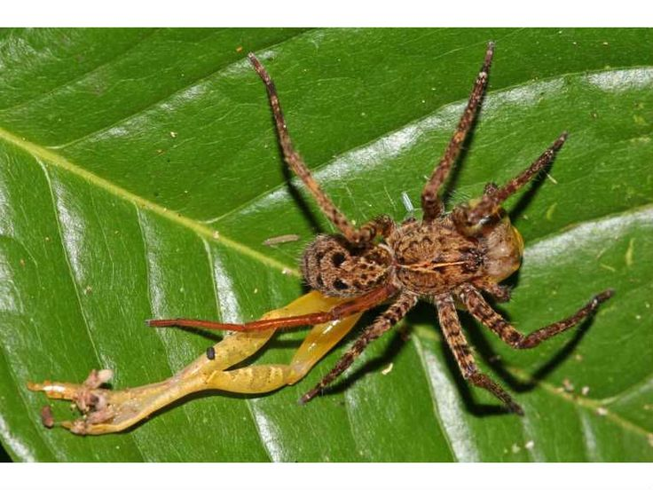 Saith the Fly to the Spider: Spiders Cupiennius, Spiders 15, Barns Spiders