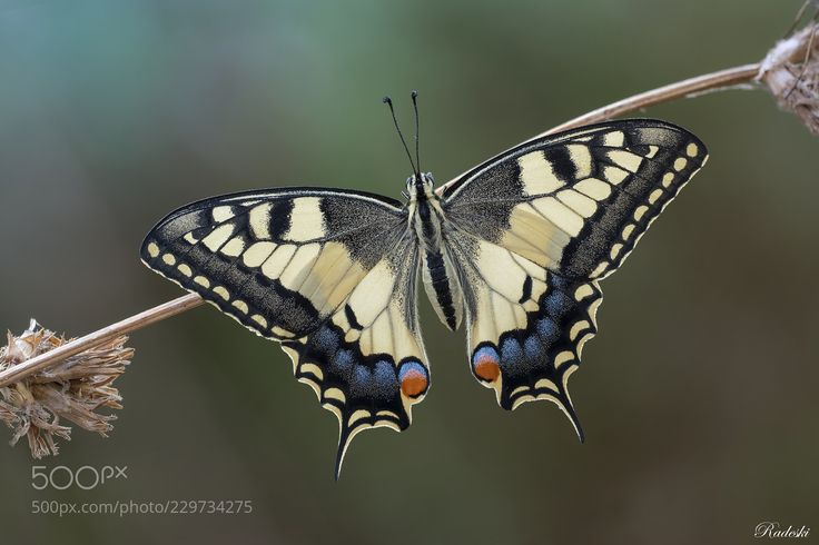 Papilio Machaon (Roberto Aldrovandi / Reggio Emilia / Italia) #nikon D850 #macro #photo #insect #nature