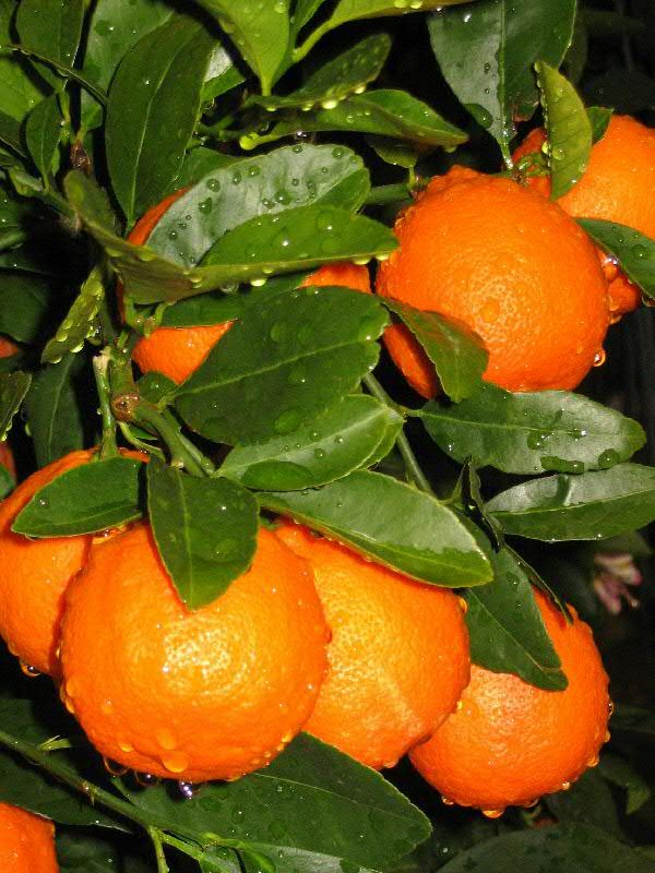 Minneola Tangelo Cluster citrus potted for inside house