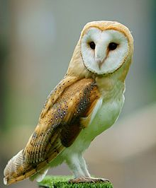 Barn Owl (Tyto alba) is the most widely distributed species of owl, and one of the most widespread of all birds.
