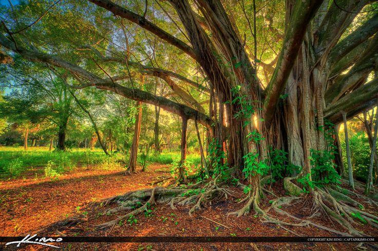A519-Large-Banyan-Tree-at-Riverbend-Park-Jupiter-Florida-original.jpg (1200×799)