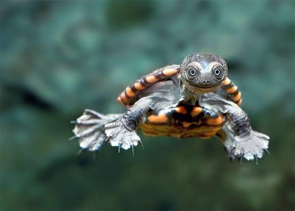 Eastern Long Neck Turtle (Chelodina longicollis)