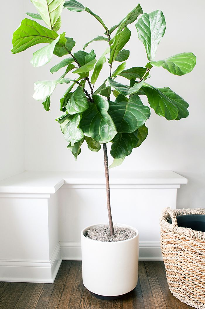 modern office plants. fiddle fig leaf in a modern planter indoor tree office plants 1